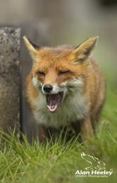 Foxy Yawn!!