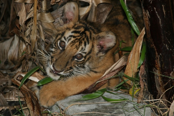 Tiger cub by mikekay