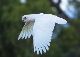 Corella in flight