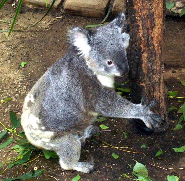 Koala Bear, near Sydney, Australia