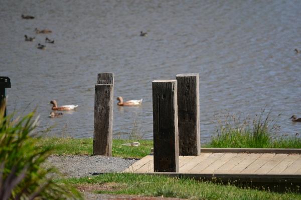Ducks by SaadToma