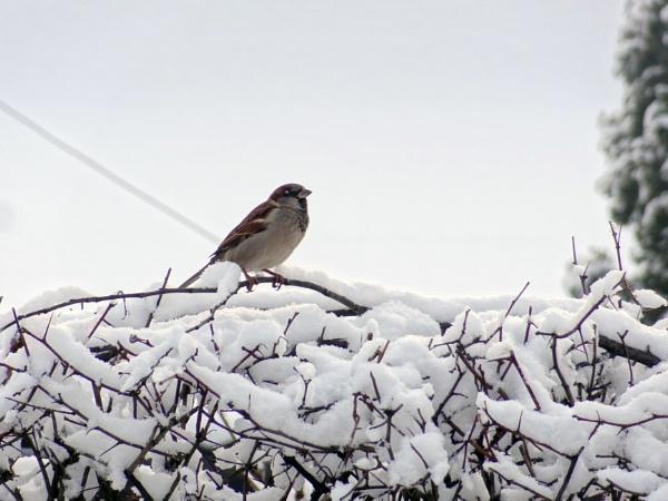 Sparrow by Zenonas