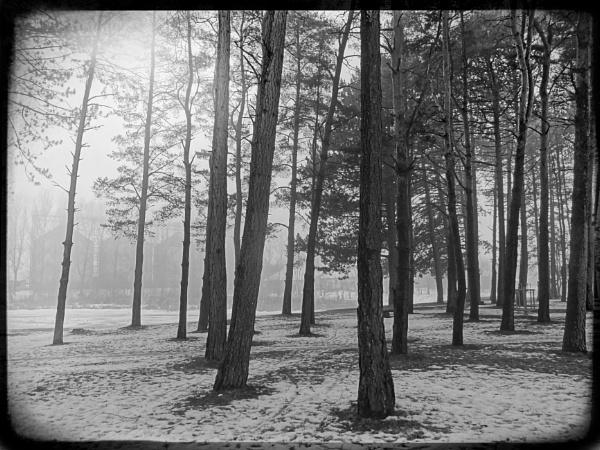 Foggy pine forest by Zenonas