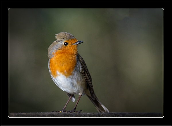Robin by dven
