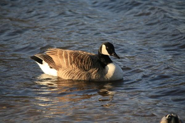 Sunlit goose by brianwakeling