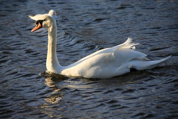 Sunlit swan by brianwakeling