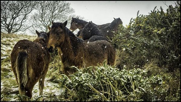 Snow Ponies by dwilkin