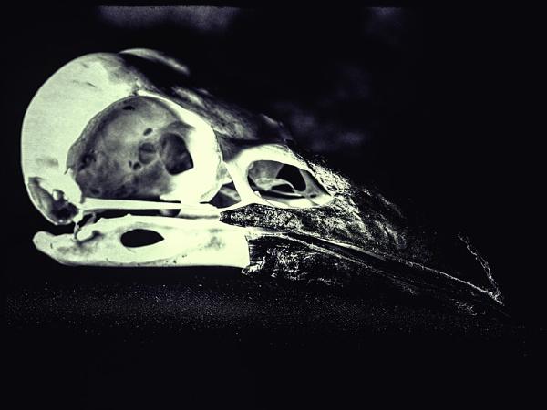 Crow Skull by dwilkin