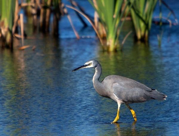 Bibra Lake Heron by optimist950