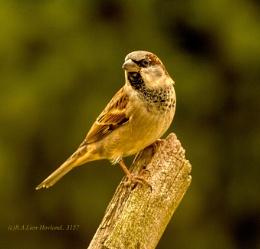 Sparrow. 3157