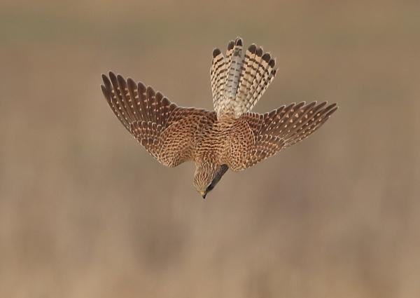 Hunting Kestrel by NeilSchofield