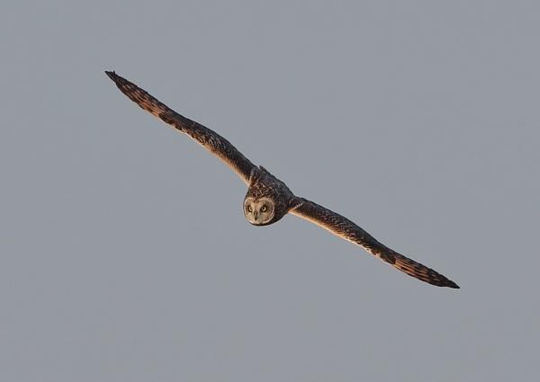Short Eared Owls High Aerial Shots by NeilSchofield