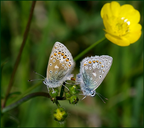 Mating Pair of Common Blues on a Buttercup. by Badgerfred