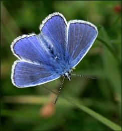 Common Blue Male.