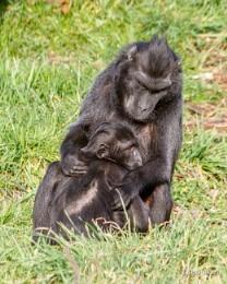 Macaques Monkeys