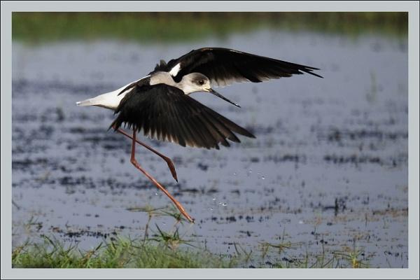 Black-Winged Stilt (Himantopus-himantopus) by prabhusinha
