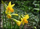Mini-Daffs by HobbitDave