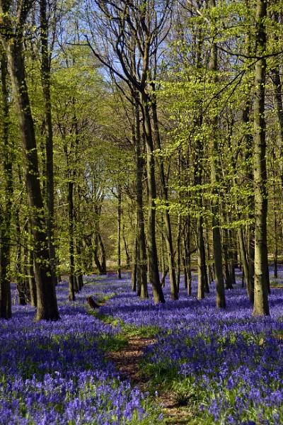 Ashridge Bluebells. by peterthowe