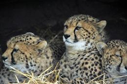 Cheetahs again.