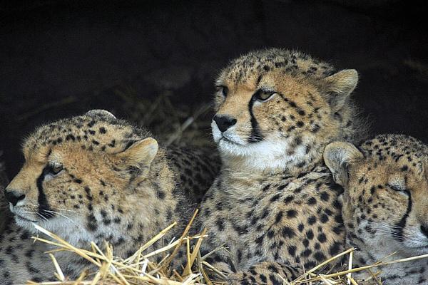 Cheetahs again. by peterthowe