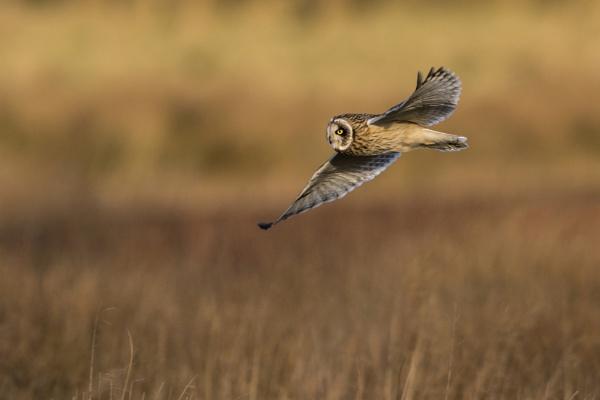 Short Eared Owl by richmowil