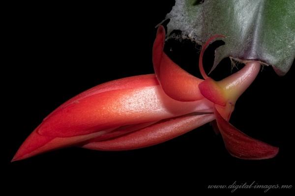Cactus Flower Bud by Alan_Baseley
