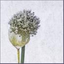Allium No 3 by judidicks
