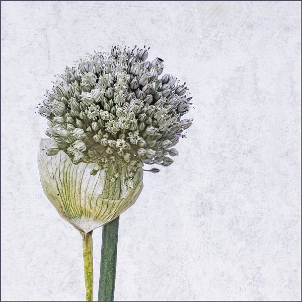 Allium No 3 by judidicks