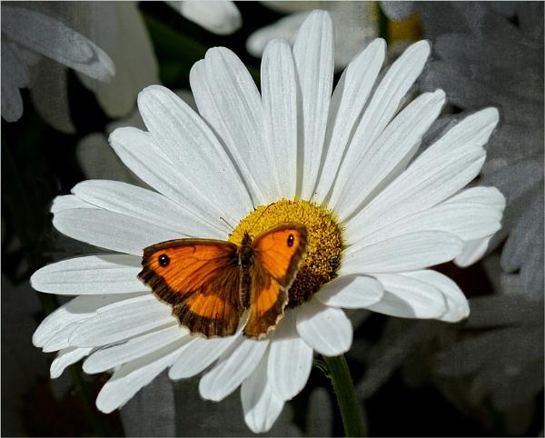 Daisy by sweetpea62