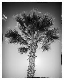 Photo : Mono palm