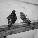 Pigeons II by Swarnadip