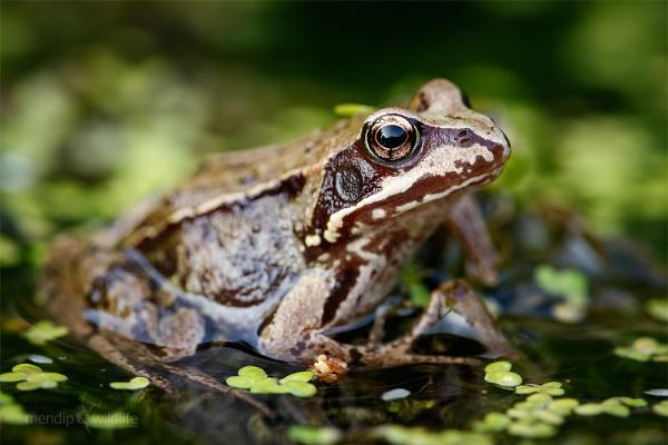 Common Frog - Rana temporaria by Mendipman