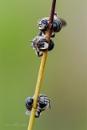 Solitary Bee - Nomiapis diversipes by Mendipman
