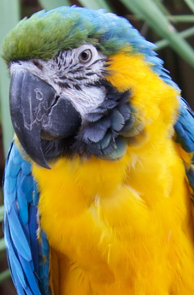 Pele - Blue and Gold Macaw