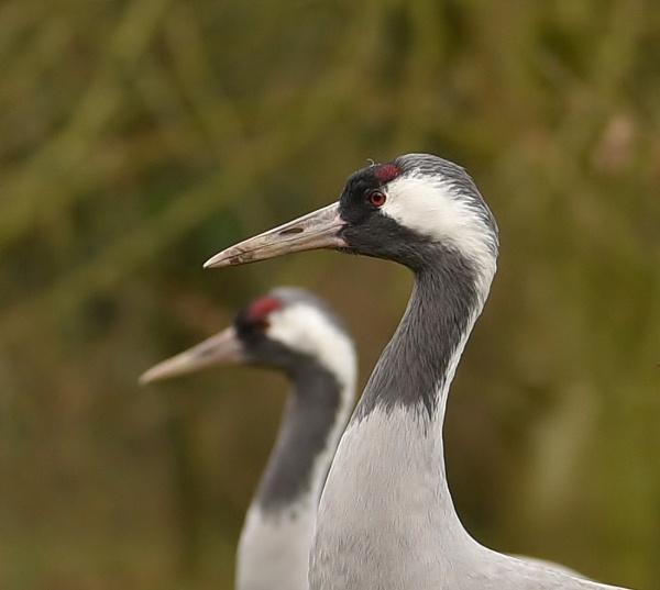 Cranes by nealie