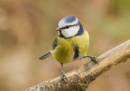 Blue Tit by ali63