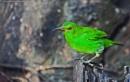 "Green Honeycreeper ""Chlorophanes Spiza"", Costa Rica by brian17302"