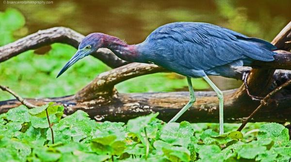 """Little Blue Heron \""""Ergetta Caerulea\"""" Tortuguero, Costa Rica by brian17302"""