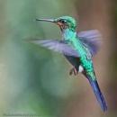 "Ruby Throated Hummingbird ""Archilochis Colubris"",  Costa Rica by brian17302"