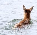 Deer  Swim  Surprise by tonyguitar