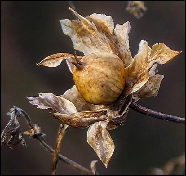 Hedge Bindweed  Seed by civitas