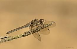 Common Darter