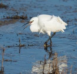 Little Egret..(Cley Marsh)