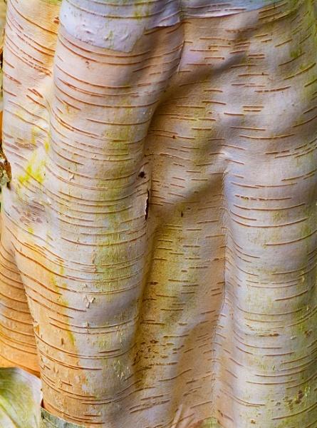 Himalayan birch by Danny1970