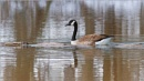 Canada Goose 2 by taggart
