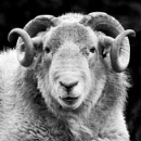 Horny tup by DavesWork