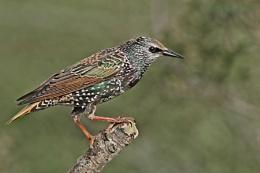 Starling--Sturnus vulgaris