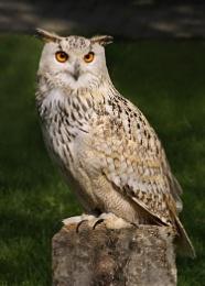 Eurasian eagle owl--Bubo bubo