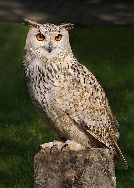 Eurasian eagle owl by bobpaige1
