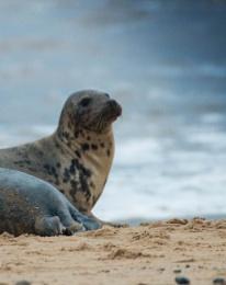 Horsey Gap Seal pup